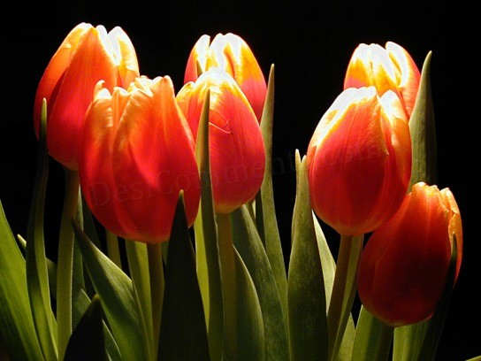 Picture: Tulips