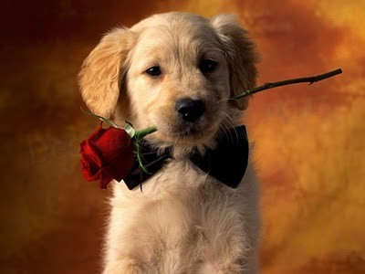 Cute puppy with a red rose