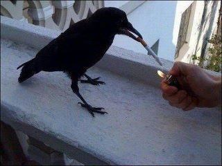 Crow with a cigarette