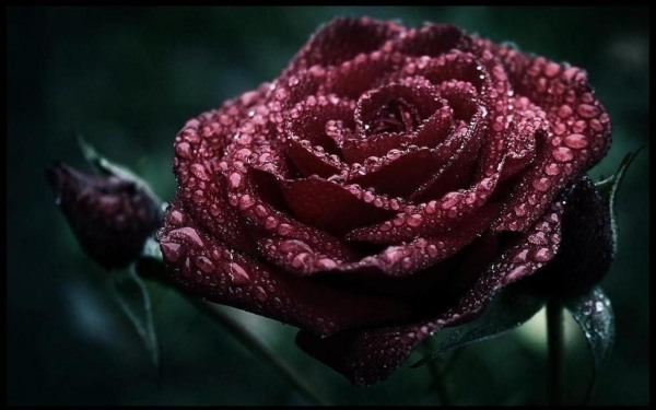 Dark roses with water drops