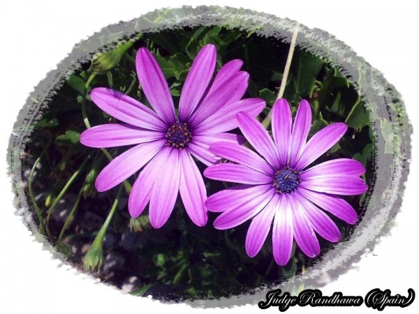 Purple Daisy Flowers