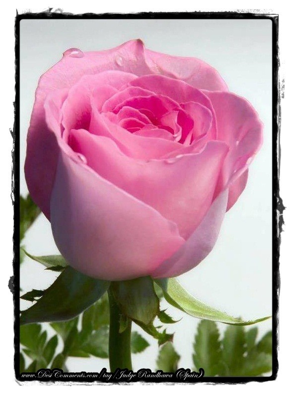 Close Pic Of Pink Rose