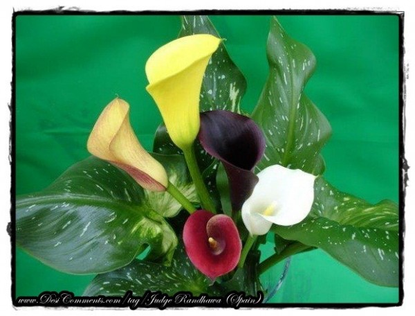 Colorful Calla Lilies Flowers