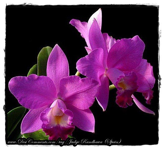 Orchid Flowers Graphic