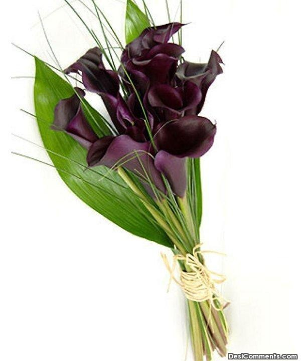 Purple Calla Lillies