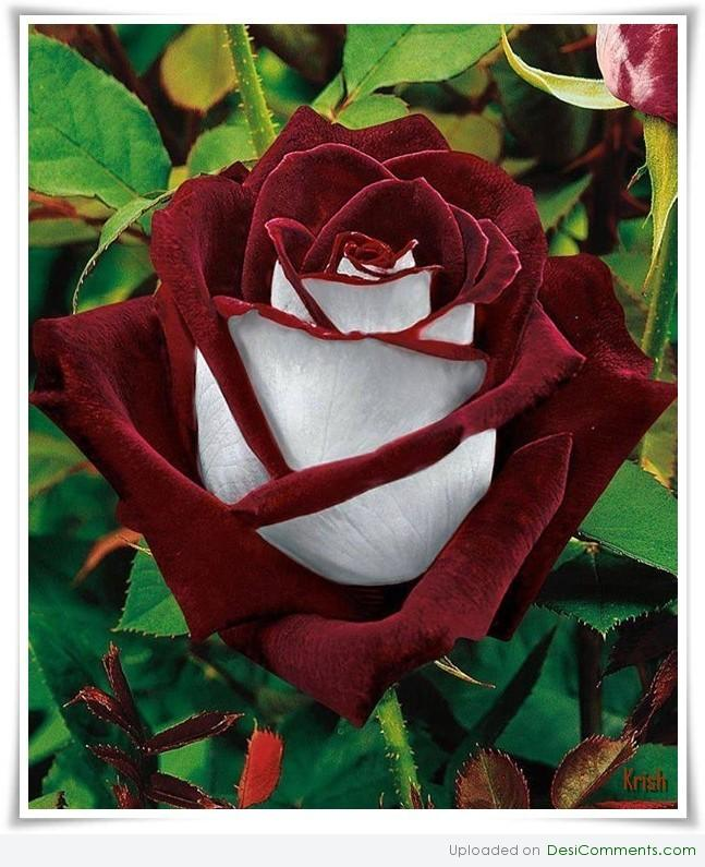 Desi rose image flower - victoria 2 china flags picture