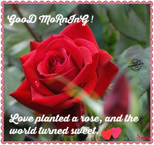 Good Morning - Love planted a rose...