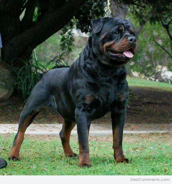 Rottweiler Wallpaper: Pets Pictures, Images, Graphics