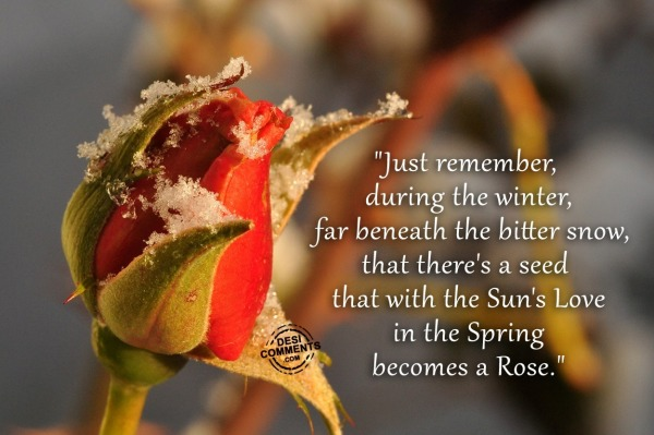 Picture: Red Rose – Just remember, during the winter…