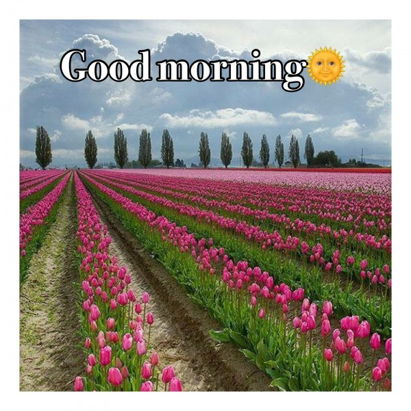 Tulips - Good Morning