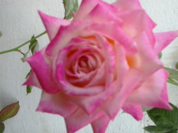 Picture: Beautiful Rose