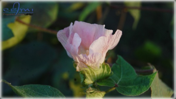 Cotton Seed Flower