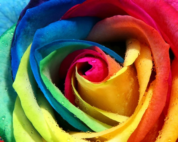 Picture: Colorful Rose