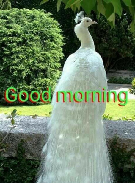 Good Morning With White Peacock