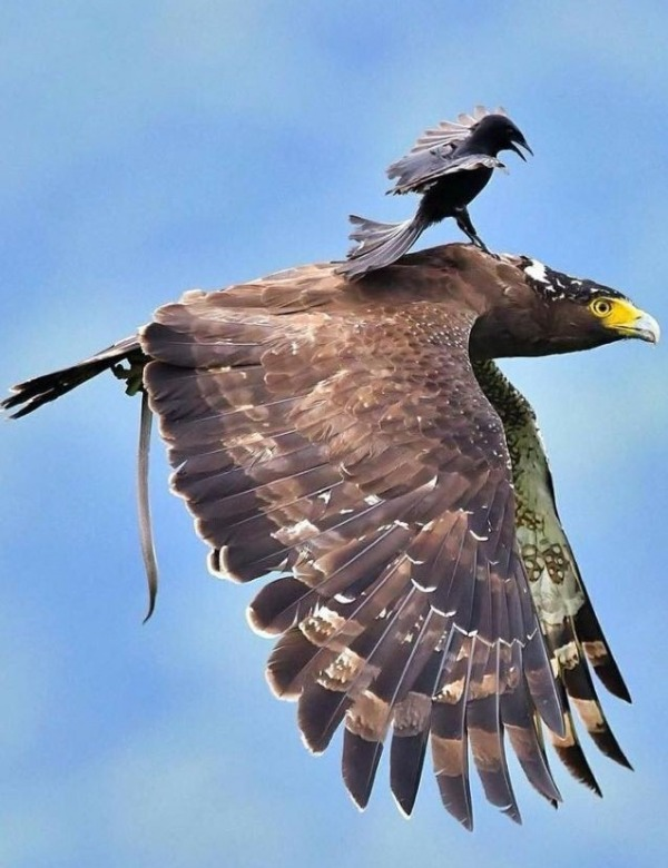 Small Bird Riding On Eagle