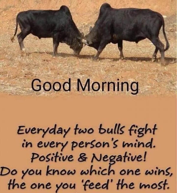 Everyday Two Bulls Fight