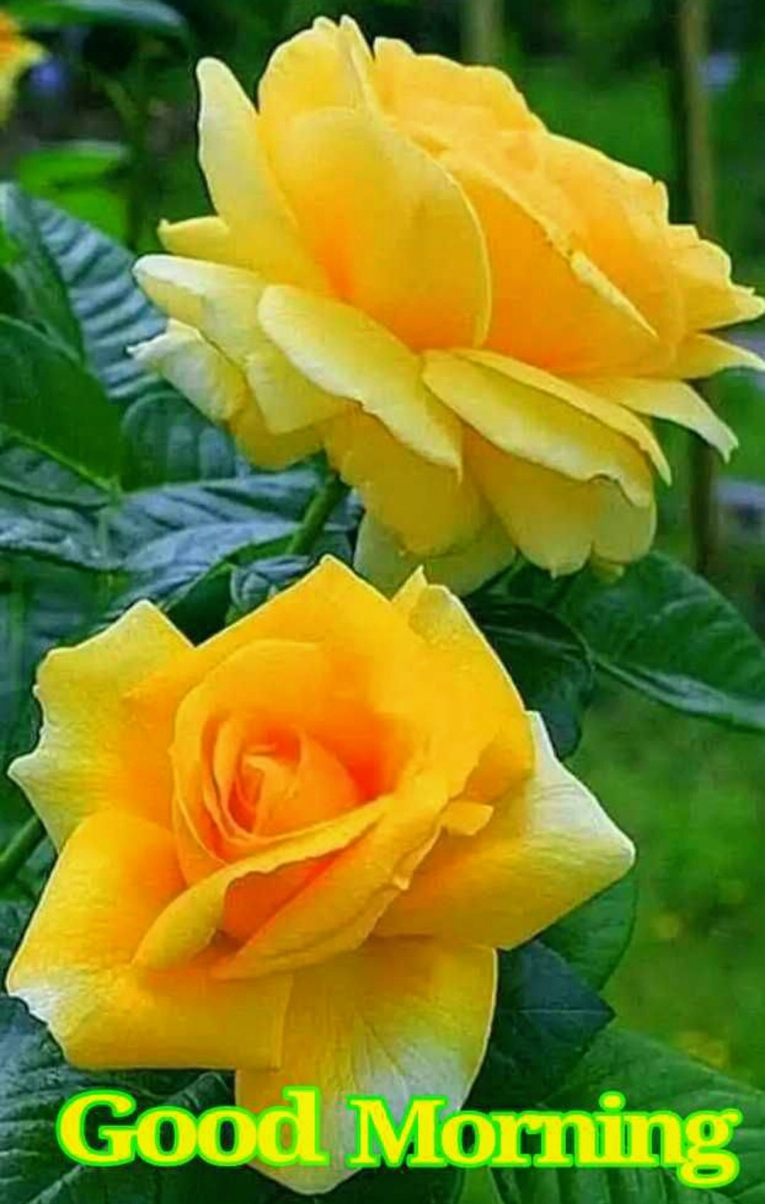 Good Morning With Yellow Roses Desicomments Com