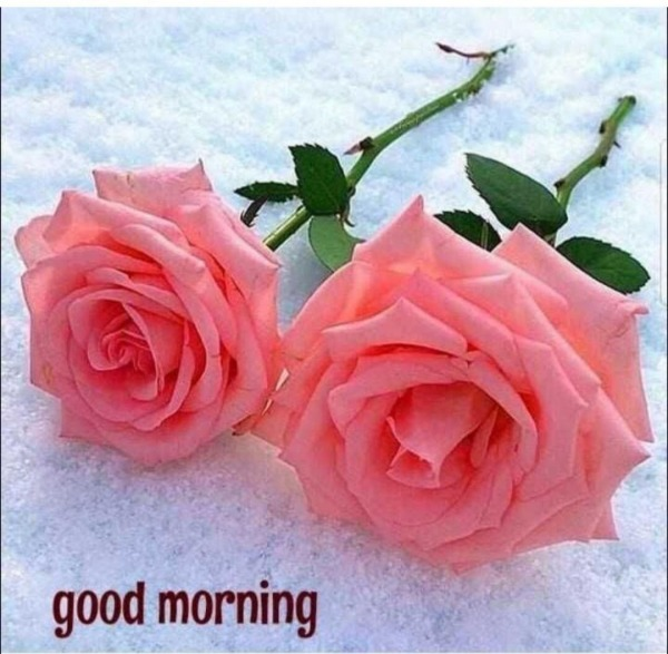 Good Morning With Pink Roses