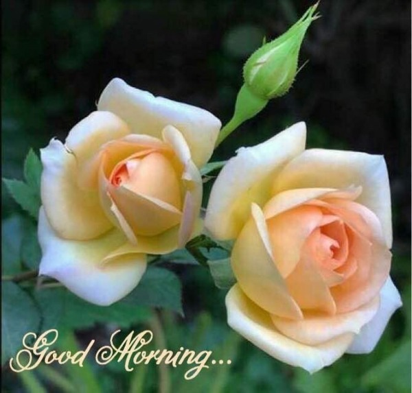 Good Morning With White Roses