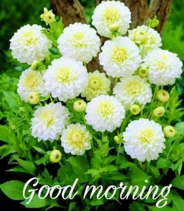 Picture: Good Morning With White Flowers