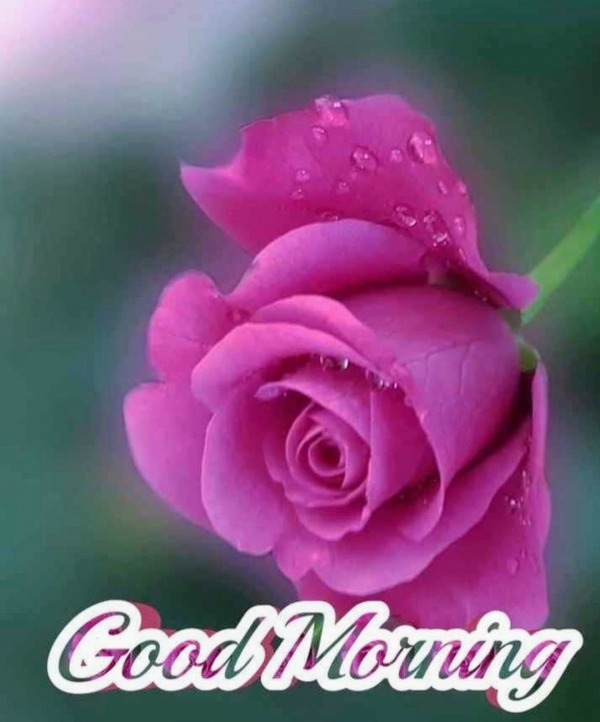 Picture: Good Morning With Dark Pink Rose