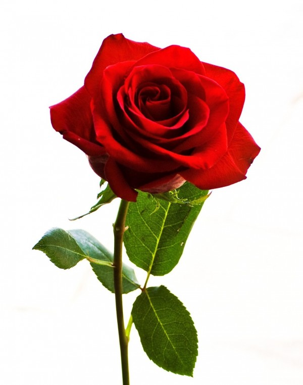 Gorgeous Rose For Gorgeous Lady
