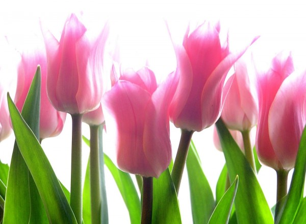Picture: Pink Tulip Flowers