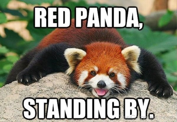 Red Panda Standing By