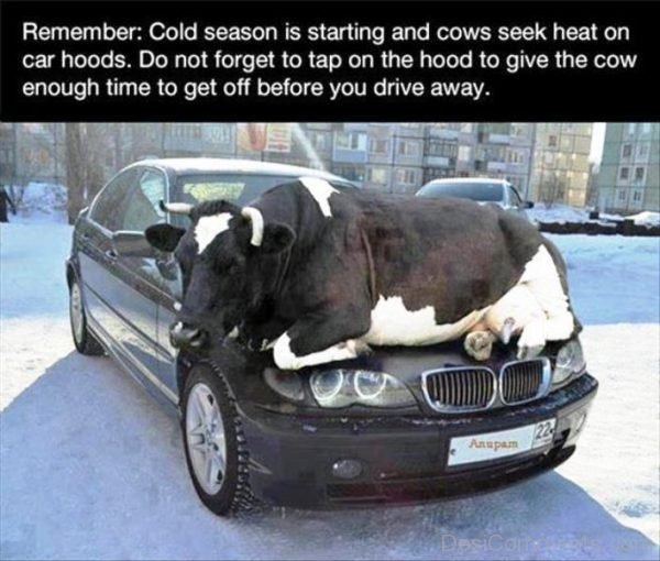 Cold Season Is Starting And Cows Seek Heatjpg