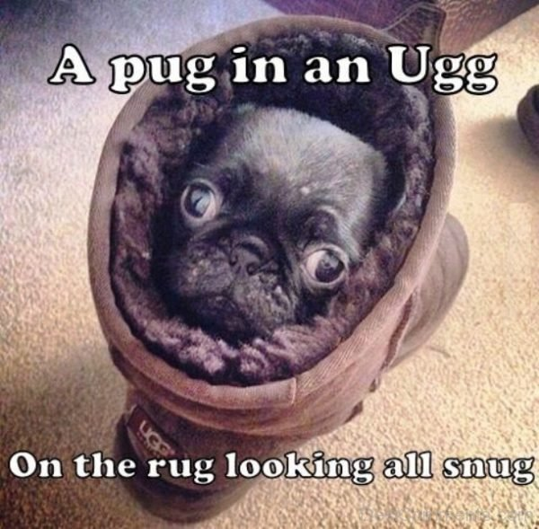 A Pug In An Ugg