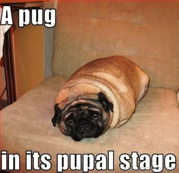 A Pug In Its Pupal Stage