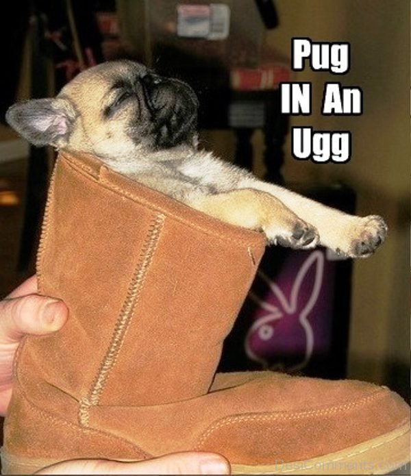 Pug In An Ugg