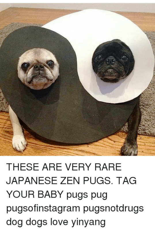 These Are Very Rare Japanese Zen Pugs