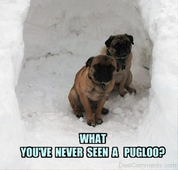 What You ve Never Seen A Pugloo