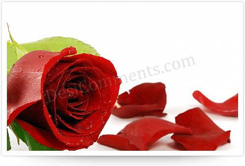 Picture: Rose
