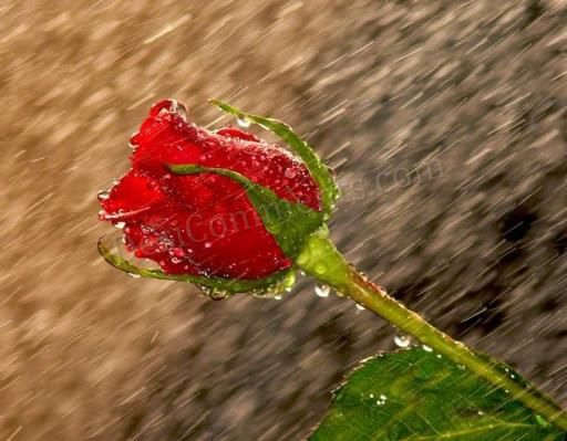 Picture: Red Rose