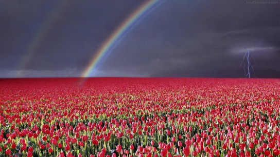 Rainbow over the red tulip field flower