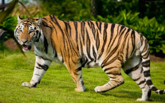 Tiger Walking On Grass