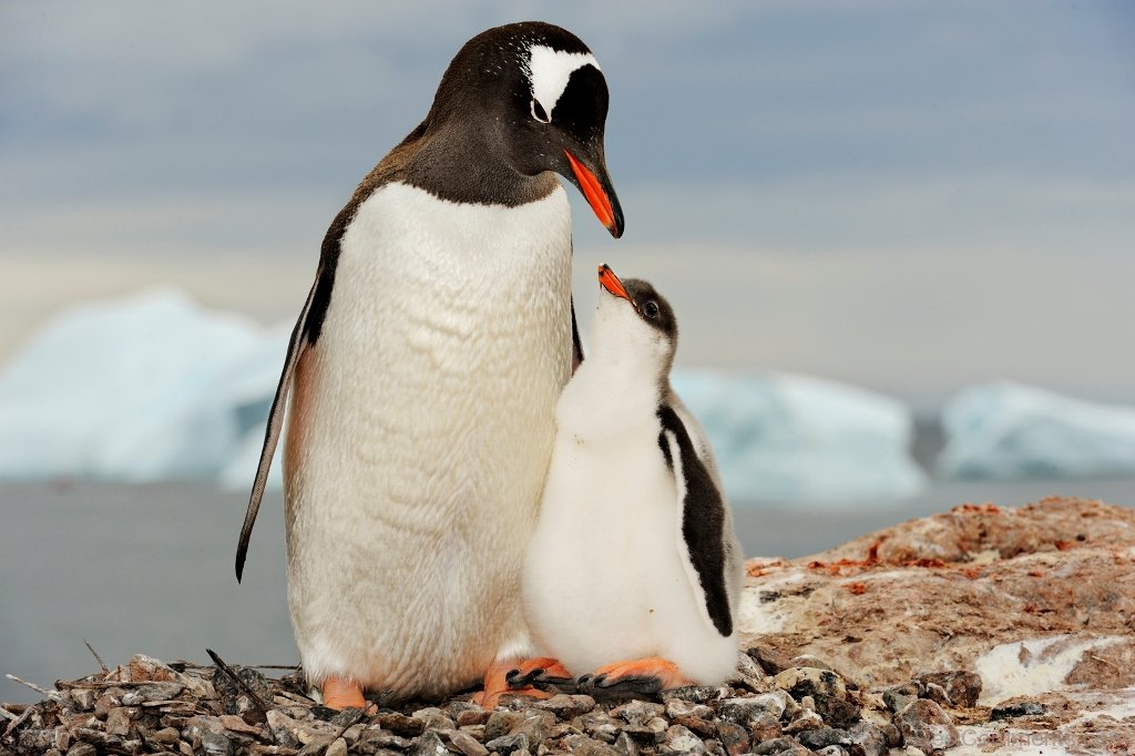 Adelie Penguin With Baby Adelie Penguin Desicomments Com