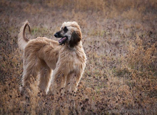 Afghan Hound Standing In The Field-DC10263