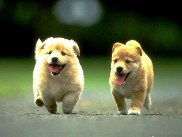 Two Puppies-DC10018