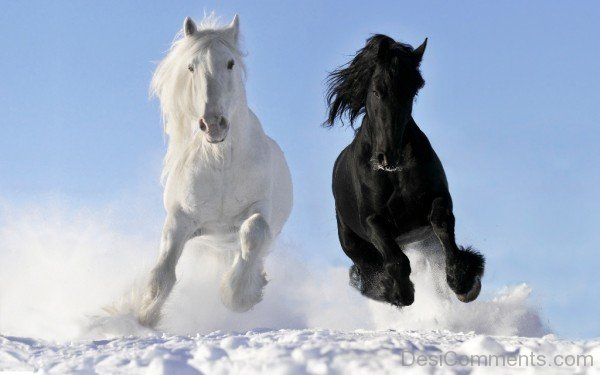 White And Black Horses-DC10149