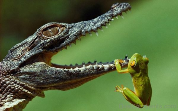 Alligator And Green Frog