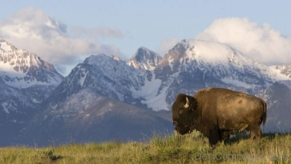 Bison And Mountain
