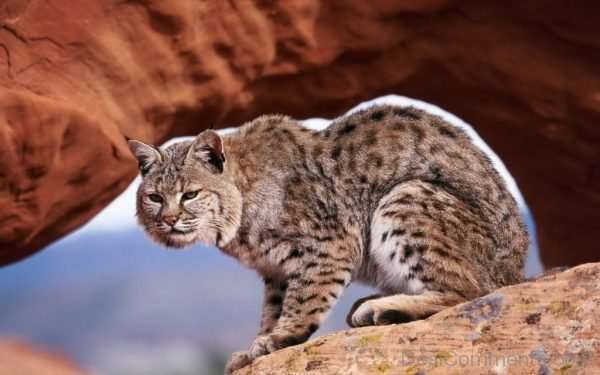 Bobcat Sitting On Rock