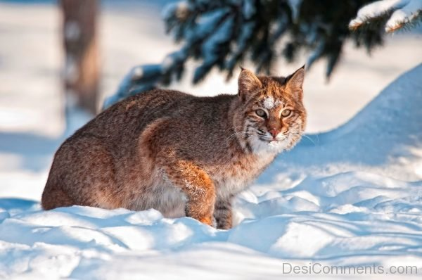Bobcat Sitting On Snow