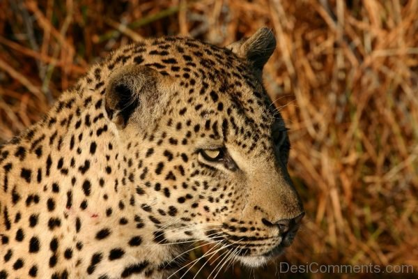 Face Close Up Of African leopard