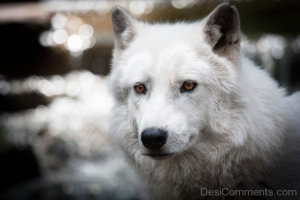 Face Close Up Of Arctic Wolf