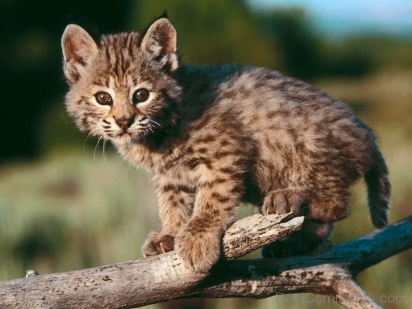 Little Bobcat