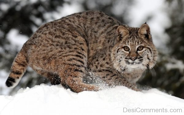 Wallpaper Of Bobcat